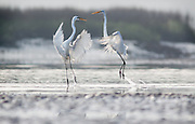 White egrets quarrel over a fishing hole on the shallow flats at low tide in a May River marsh.