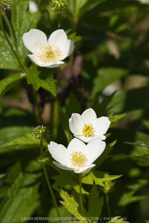 Snowdrop Anemone (Anemone sylvestris).