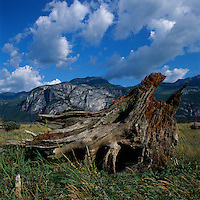 Canada, British Columbia, Squamish, Large tree stump leaning on saltwater flats along Howe Sound on summer afternoon