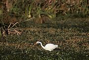 Great Egret, Egret, Common Egret, Morro Bay, California