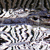 Crocodile in Water.