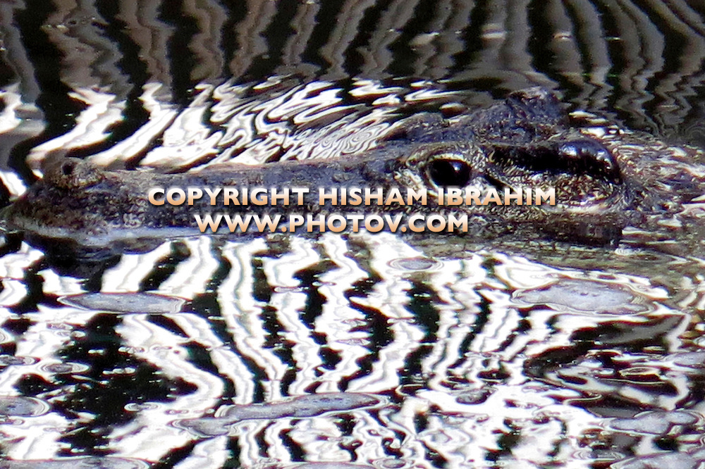 Crocodile in Water.