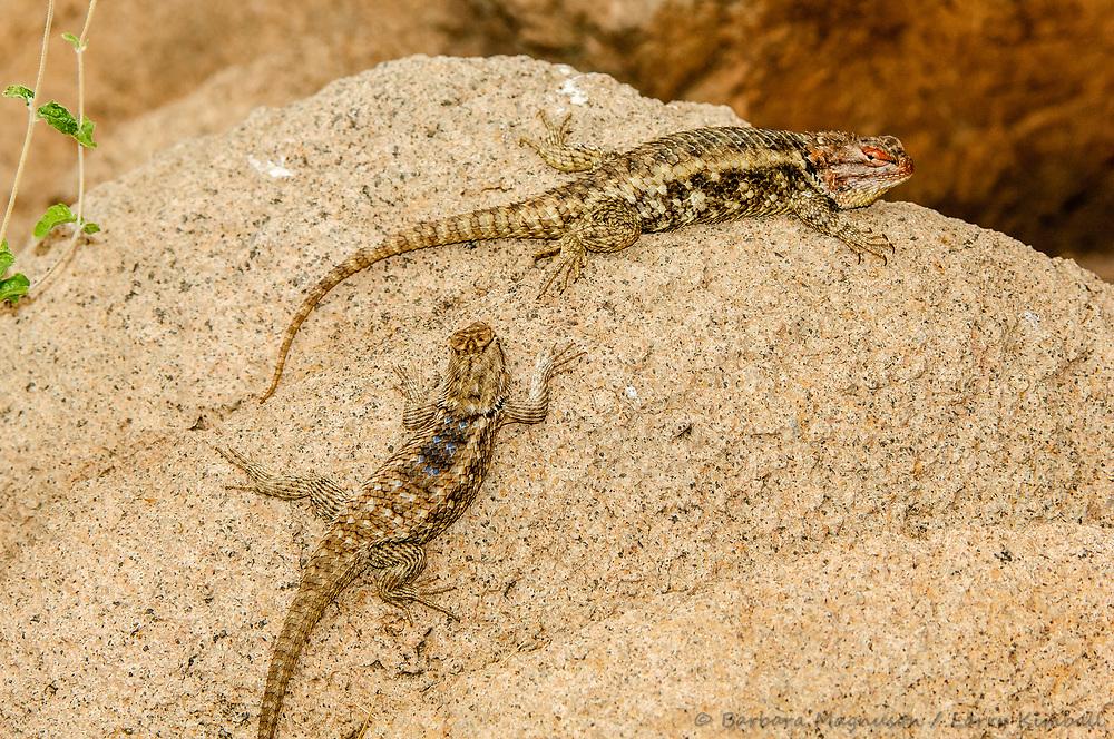 Desert Spiny Lizards [Sceloporus magister] male & female; Tucson Sonoran Desert Museum, Arizona