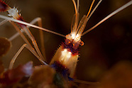 Stenopus hispidus (Banded coral shrimp)