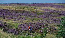 © Licensed to London News Pictures. 23/08/2015. Hole of Horcum, UK. A walker stops to look over the flowering heather at the Hole of Horcum on the North Yorkshire Moors. Photo credit : Anna Gowthorpe/LNP