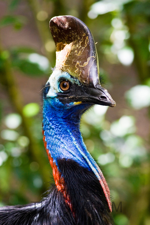Southern Cassowary bird, Queensland, Australia