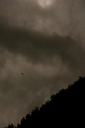 A Brahminy Kite (Haliastur indus) hunting bats leaving Gomantong Caves at Dusk, Sabah, Malaysian Borneo.