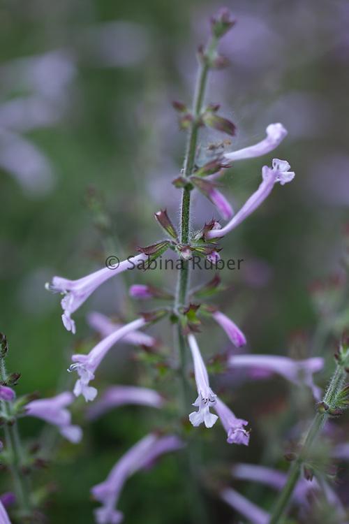 Salvia scabra 'Saffina'