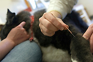 A veterinarian uses acupuncture to relieve joint pain  in an elderly dog