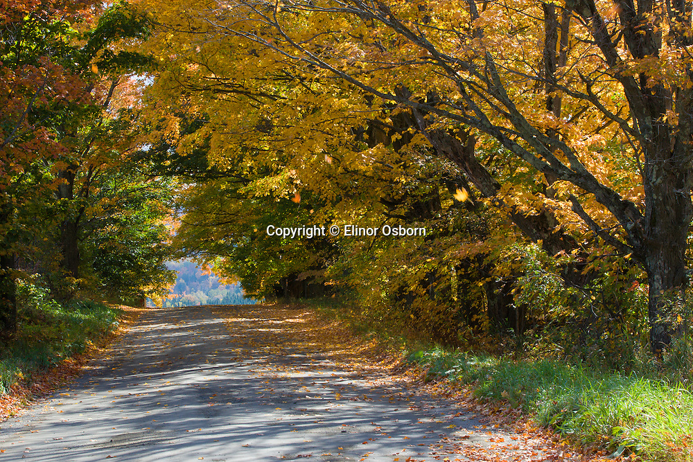 sugar maples along country road