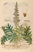 16th century, watercolor, hand painted woodcutting print of an Acanthus flower from Leonhart Fuchs book of herbs: De Historia Stirpium Commentarii Insignes Published in Basel in 1542 The original manuscript this image is taken from shows signs of water damage
