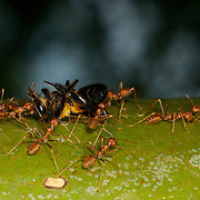 Oecophylla smaragdina, or red tree ants killing a bee and hauling it back to the nest.