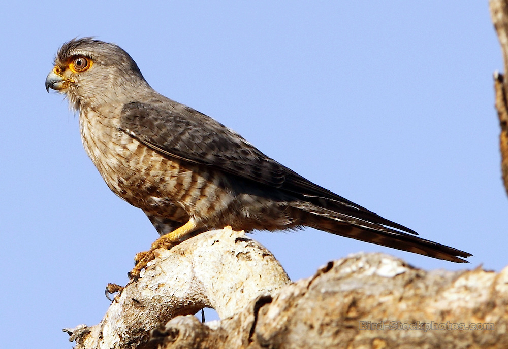 Banded Kestrel, Falco zoniventris, Madagascar, by Paul Ellis