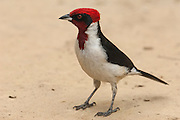 Masked Cardinal (Paroaria nigrigenis)<br /> mid) Orinoco River, 110 Km north of Puerto Ayacucho. Apure Province, VENEZUELA. South America. <br /> RANGE: Orinoco Basin, Venezuela and Colombia