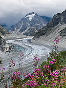Fireweed (Epilobium angustifolium) grows by the Mer de Glace (Sea of Ice), a classic glacier easily accessible via cog railway or day hike from Chamonix, France, Europe. At 7 kilometers (4.3 miles) long, it is the longest glacier in France. It was once easily visible from Chamonix, but has been shrinking and is now barely visible from below. In the 1700s and 1800s, the glacier descended way down to the hamlet of Les Bois, where it was formerly known as Glacier des Bois.
