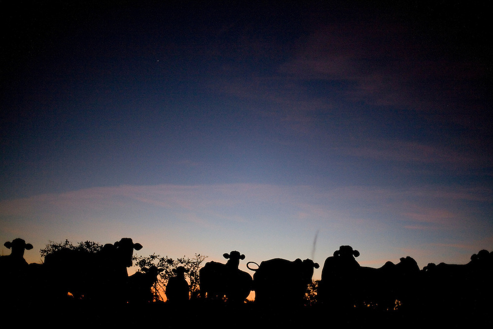 Buritizeiro_MG, Brasil...Silhueta de gado em Buritizeiro...The cattle silhouette in Buritizeiro...Foto: LEO DRUMOND / NITRO