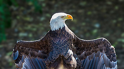 The Bald Eagle (Haliaeetus Leucocephalus) is found only on the North American continent. Adult male eagles generally weigh about 9 pounds. Adult females weigh in at between 12 and 13 pounds. Adult eagles have a wing span of up to 7 feet. Immature eagles are mottled brown and white. The distinct white head and tail of the mature bird is developed between 4-5 years of age. In the wild, bald eagles live to between 30 and 35 years. In captivity, they have been known to live up to 50 years.<br />