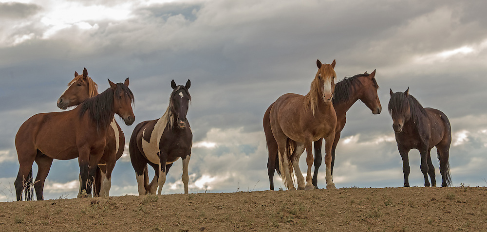 A family band of wild horses, led by the stallion Signal, gathers along a ridgetop during a stormy morning at McCullough Peaks.