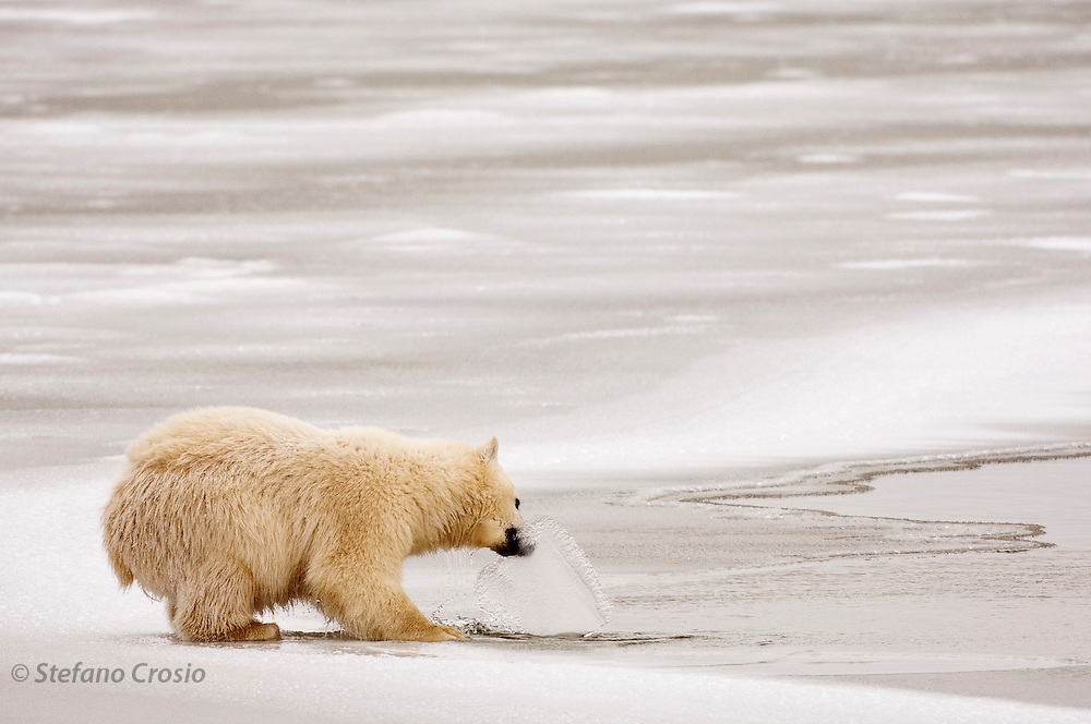 CANADA, Churchill (Hudson Bay).Polar bear (Ursus maritimus) cub with ice in its mouth