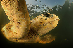 Loggerhead turtle (Caretta caretta) swimming, Dalyan Delta, Turkey   Unechte Karettschildkröte (Caretta caretta)