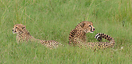 Cheetah with half-grown cub, swishing her tail in an alert rest,  sequence 1. © 2019 David A. Ponton