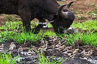 Wattled Starlings bathing at a bushveld waterhole, Phinda private Game Reserve, KwaZulu Natal, South Africa