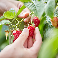 A photograph of a gardener picking home grown, organic, summer fruiting raspberries in Yorkshire, England.