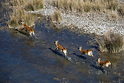 Red Lechwe (Kobus leche)<br /> Private game ranch<br /> Great Karoo<br /> SOUTH AFRICA