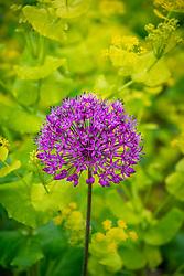 Allium hollandicum 'Purple Sensation' AGM with Smyrnium perfoliatum<br /> (Perfoliate alexanders)