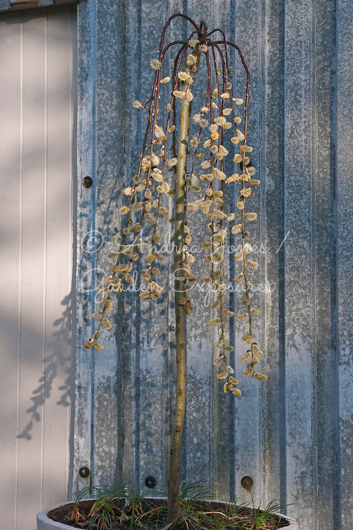 Container planted with a standard weeping Salix caprea 'Kilmarnock' (Kilmarnock willow) showing early spring catkins