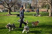 A female dog walker out walking 7 dogs on leads in Harmsworth Park outside the Imperial War Museum, London, United Kingdom.  (photo by Andrew Aitchison / In pictures via Getty Images)