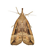 72.004 (2480)<br /> Buttoned Snout - Hypena rostralis