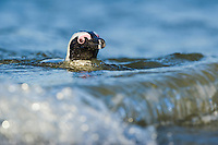 African Penguin swimming on the waters surface, Bettys Bay, Western Cape, South Africa