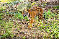tiger (Panthera tigris), India. Tiger habitats will usually include sufficient cover, proximity to water, and an abundance of prey. Bengal tigers live in many types of forests, including wet; evergreen; the semi-evergreen of Assam and eastern Bengal; the mangrove forest of the Ganges Delta; the deciduous forest of Nepal, and the thorn forests of the Western Ghats. Compared to the lion, the tiger prefers denser vegetation, for which its camouflage colouring is ideally suited, and where a single predator is not at a disadvantage compared with the multiple felines in a pride.<br /> Among the big cats, only the tiger and jaguar are strong swimmers; tigers are often found bathing in ponds, lakes, and rivers. During the extreme heat of the day, they often cool off in pools. Tigers are excellent swimmers, and are able to carry prey through the water. Image by Andres Morya
