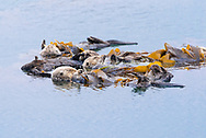 A group of sleeping sea otters floating in the ocean.