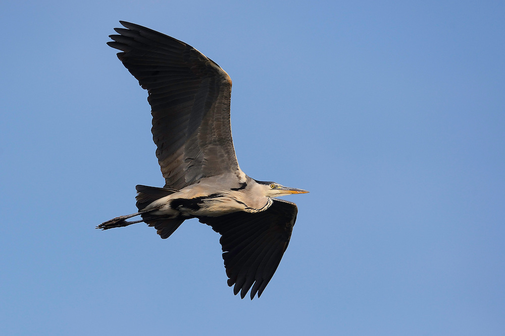 Grey heron, Ardea cinerea, Stettin lagoon, Poland, Oder river delta/Odra river rewilding area, Stettiner Haff, on the border between Germany and Poland