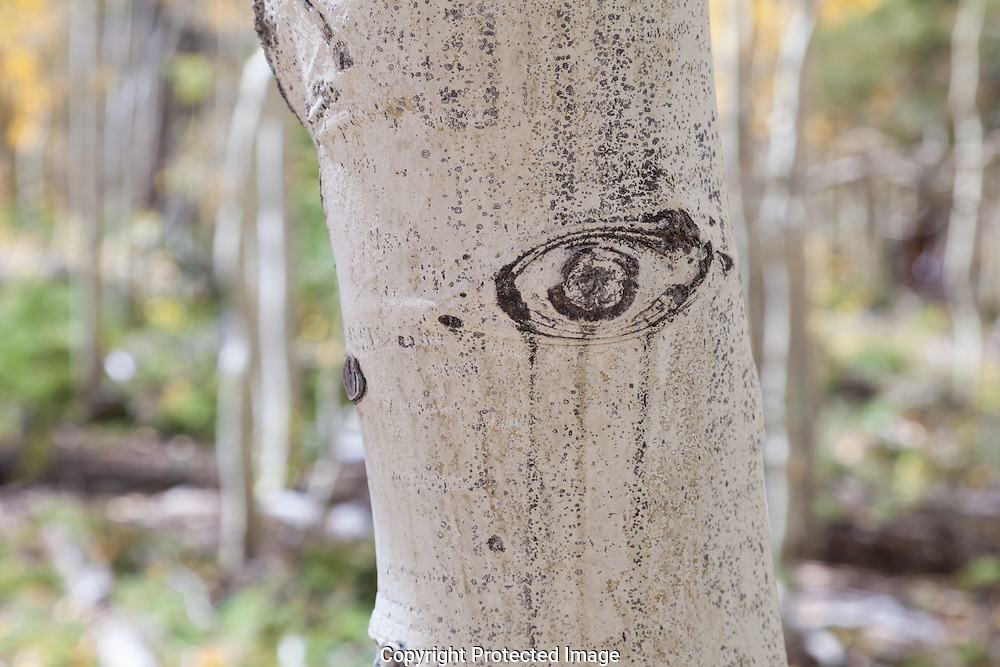 Aspen trunk, North Rim, Grand Canyon, Kaibab National Forest, AZ