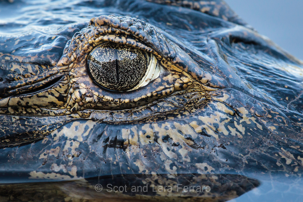 A Spectacled caiman studies us.