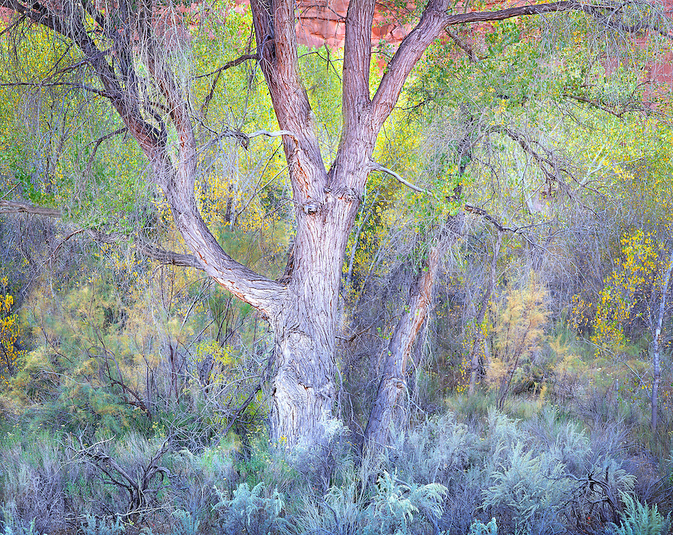 Subdued Evening Light on Autumn Cottonwood Tree in Escalante Canyon, Utah