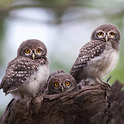 The spotted owlet (Athene brama) is a small owl which breeds in tropical Asia from mainland India to Southeast Asia. A common resident of open habitats including farmland and human habitation, it has adapted to living in cities.