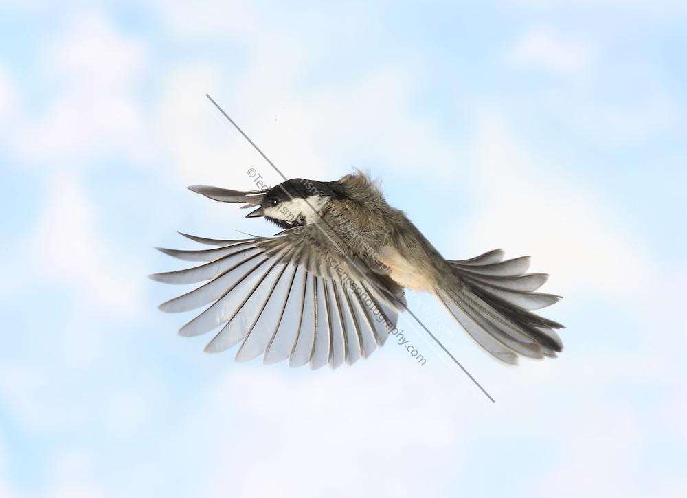 A black-capped chickadee (Parus atricapillus) in Flight.