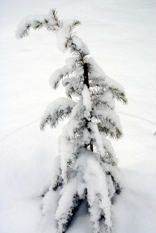 Image of a snowy tree of Olympus mountain. Sparmos village, Thessaly region, northern Greece.