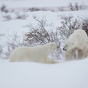 Two younger polar bears (Ursus maritimus) killing time as they wait for the ice on Hudson Bay to freeze at Cape Churchill, Manitoba, CAnada.