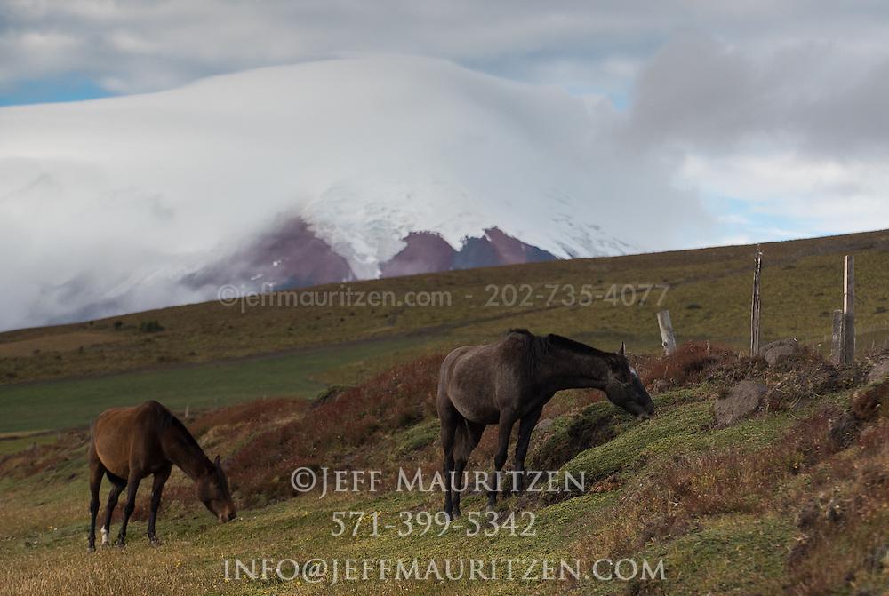 Andean horses graze in the grasslands below Cotopaxi Volcano, Ecuador.