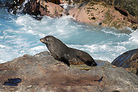New Zealand fur seal photographed near Kaikoura, South Island, New Zealand. 2010004115313..Copyright Image from Victor Patterson, 54 Dorchester Park, Belfast, United Kingdom, UK. Tel: +44 28 90661296. Email: victorpatterson@me.com; Back-up: victorpatterson@gmail.com..For my Terms and Conditions of Use go to www.victorpatterson.com and click on the appropriate tab.