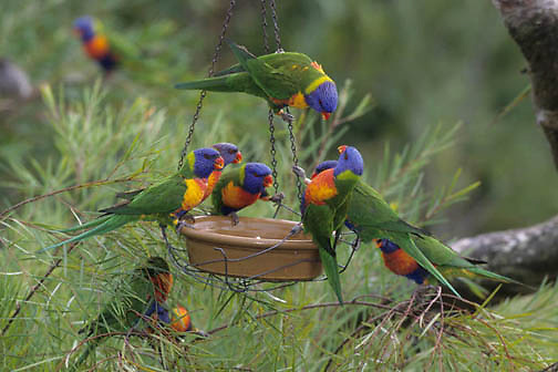 Rainbow Lorikeet, (Trichoglossus haematodus) Inhabits Southwest Pacific islands and Austrialia.   Captive Animal.