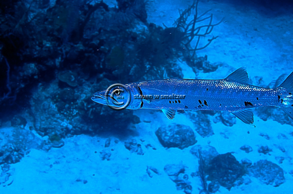 Great Barracuda, Sphyraena Barracuda, Grand Cayman