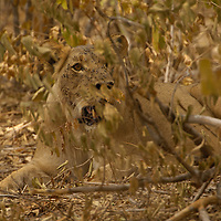 lION Leo Panthera. Balla Balla female recoverin from anastetic after having her collar changed Hwange national park Zimbabwe
