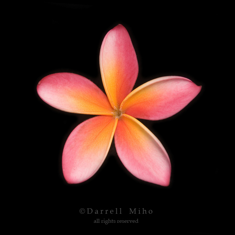 pink, yellow and white plumeria flower on black background.<br /> <br /> &copy; Darrell Miho