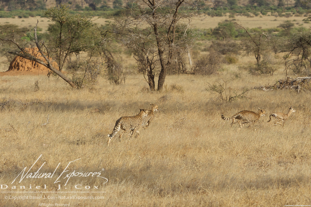Cheetah family, mother with two older cubs begin chasing a baby grants gazelle in Samburu National Reserve, Kenya